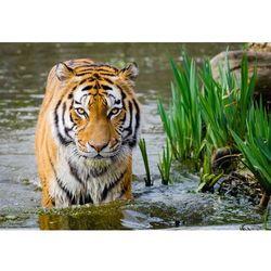Fototapeta tygrys 483