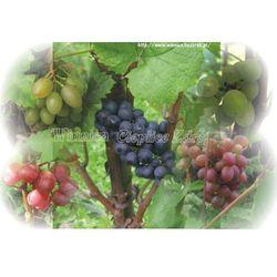 Danuta sadzonka winorośli