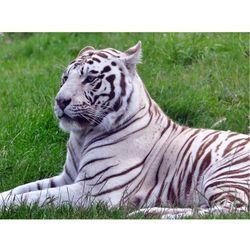 Fototapeta biały tygrys 104