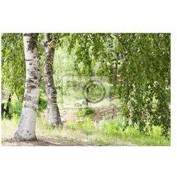 Fototapeta Piękny krajobraz - brzoza