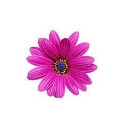Foto naklejka samoprzylepna 100 x 100 cm - Pojedynczy kwiat Gazania.
