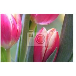 Obraz różowe i białe tulipany