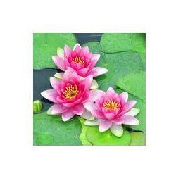 Foto naklejka samoprzylepna 100 x 100 cm - Różowe lilie wodne