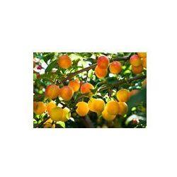 Foto naklejka samoprzylepna 100 x 100 cm - Śliwa