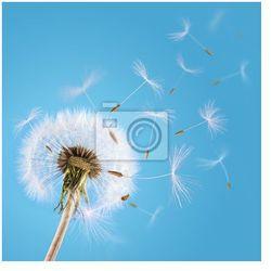Fototapeta Dandelion nasion dmuchane na niebie