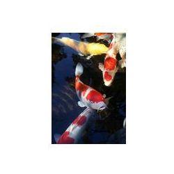Foto naklejka samoprzylepna 100 x 100 cm - Karp koi 6