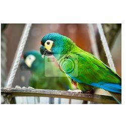 Fototapeta Piękna papuga